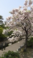 京都堀川八重の桜20140417