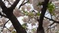 京都堀川八重の桜2