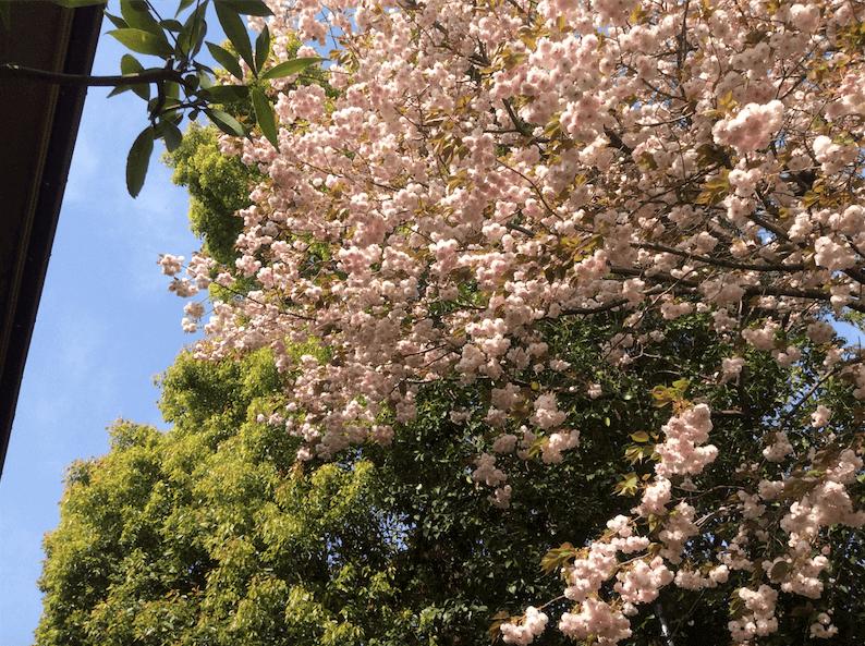 駒場I_八重桜2_2015_0418