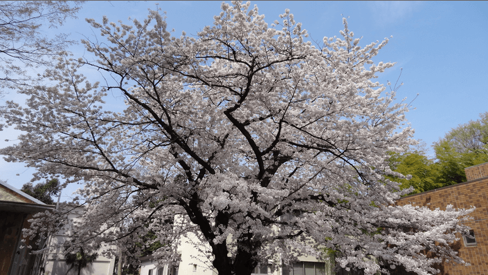 2014先端研の桜2