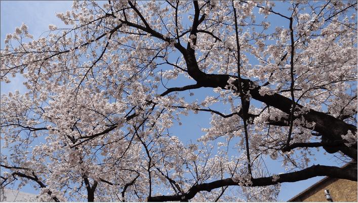 2014先端研の桜4